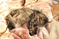 dharma (deadoll) Tags: dharma tigrado gatotigrado catnipaddicts dharmacat