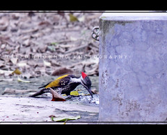 (THIRSTY) (Shoummo ()) Tags: birds woodpecker dhaka bangladesh blackrumpedflameback lessergoldenbackedwoodpecker  bangladeshibirds saeedshoummo  shoummo