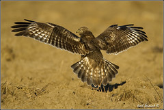 "Rough-legged Hawk (20120310-0434) (Earl Reinink) Tags: ontario canada bird art nature birds photography landscapes nikon hawk canadian niagara raptor earl bif ""bird ""nikon ""niagara photography"" ""birds ""nature ontario"" ""landscape ""fine ""earl peninsula"" flight"" lenses"" hawk"" d3"" ""hawk d3s"" reinink"" ""roughlegged"