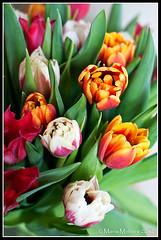 Tulips (mmoborg) Tags: flowers sweden sverige blommor mmoborg