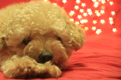 IMG_4842 (Francini Pessôa) Tags: dog cão bokeh cachorro poodle cães sweetpoodle bokehstar beyondbokeh