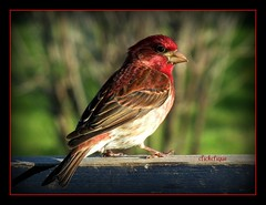 Purple Finch (clickclique) Tags: red brown bird bokeh ngc feathers finch purplefinch naturesfinest featherweights damniwishidtakenthat naturescarousel