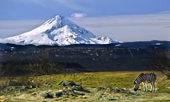 Mount Kilamanjaro....er....Hood (Darrell Wyatt) Tags: blackandwhite snow washington stripes zebra mounthood newvision schreinerfarms peregrino27newvision