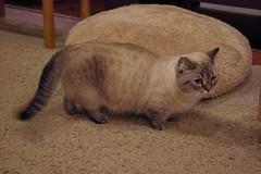 猫カフェの猫ちゃんその3の写真