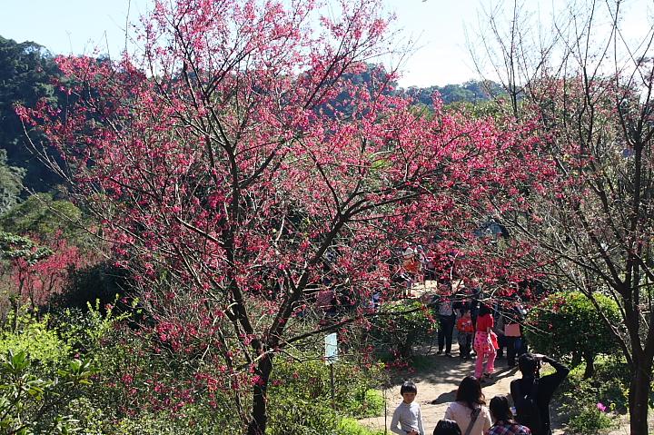 土城太極嶺櫻花步道035