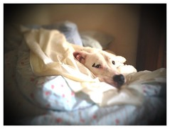 Ollie sleeping in (kingpinphoto) Tags: oliver joeldidriksen wwwkingpinphotocom thelittledoglaughed