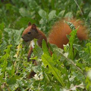 sammelndes Eichhörnchen, NGIDn852518760