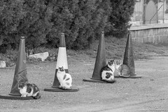 The street cone keepers... (TeryKats) Tags: street b bw cats white black cat canon eos funny cone lol w 300mm v sultan ef hala larnaca 500d cyrpus lefteris thecatwhoturnedonandoff katsouromallis terykats leftkats ttekes tteke