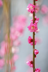 Deep Pink Plum (peaceful-jp-scenery) Tags: flower spring sony plum  tamron    a001 dslra900 spaf70200mmf28di