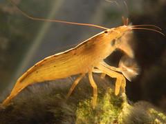 """Atyopsis moluccensis"" (A Botanical Wonderland) Tags: water asian aquarium tank shrimp bamboo freshwater atyopsis moluccensis"