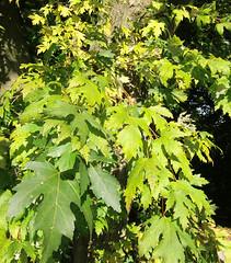 Silber-Ahorn_Zweige_CIMG1515 (schaefer_rudolf) Tags: natur pflanze acer baum ahorn laubbaum ahorne ahorngewchse aceraceae acer saccharinum