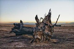 Uprooted... (Craig Pitchers) Tags: africa tree southafrica roots capetown ikon durbanville westerncape 10mm 1024mm d7000 nikond7000 nikon1024mm