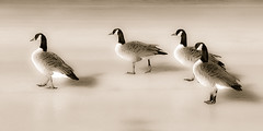 Tip Toe (jeffm211) Tags: geese lakearlington projectw slidersunday 112in2012