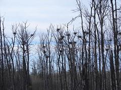 Great Blue Heron nest colony or heronry (Laura Erickson) Tags: minnesota birds species greatblueheron stlouiscounty ardeidae ardeaherodias pelecaniformes