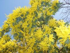 MIMOSAS (GeckoZen) Tags: flowers yellow fleurs jaune arcachon mimosas andernos