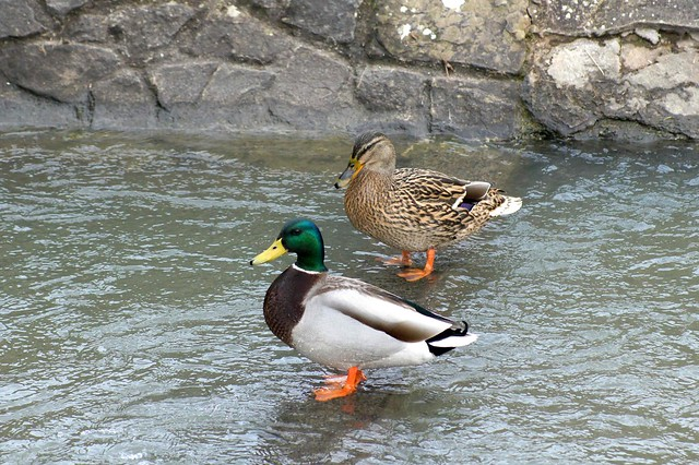 A Male & female Mallard Duck