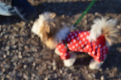 DSC_0090 (rlg) Tags: red dog male animal mammal coat 20 february monday polkadot 2012 havanese noka fpr 0220 02202012 201202 20120220 nikond5100 15oct11 nokahc