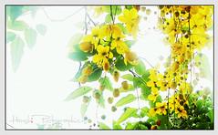 Its Vishu Again (hoshi7) Tags: flowers yellow hoshi vishu goldenshower vishukkani baisakhi bihu konna goldenshowertree kanikonna floweryellowflower puthandu goldenshowerflower hoshi7 hoshipictographics