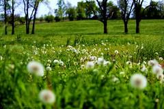 Dandelions (BekahBooh) Tags: field grass sunshine dandelion horsefarm fieldofdandelions wishingflower
