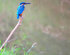 Patient (alcedo atthis) (Thai pix Wildlife photography,,) Tags: birds thailand kingfisher alcedoatthis