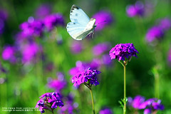 (nodie26) Tags:        flower light color hualien taiwan  feel  beautiful     rain   spring    butterfly  flowers fly   105mm
