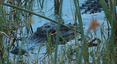 Alligator: AMERICAN  #10 (3Point141) Tags: florida alligator crocodile crocodylus crocodylusporosus alligatormississippiensis gavialisgangeticus gavial merrittislandnationalwildliferefuge crocodylidae crocodyluspalustris kumir kumeer koomir 3point141
