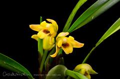Maxillaria variabilis f. yellow