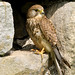 KESTREL NottsWT (cpt John Smith)