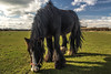 Black horse (richboxfrenzy) Tags: eatinggrass horsehorseyhorseyneigh