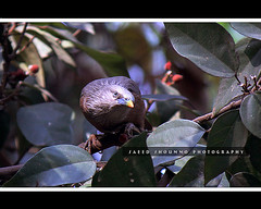 , Grey-headed Myna (Shoummo ()) Tags: chestnuttailedstarling greyheadedmyna  bangladeshibird saeedshoummo  shoummo       deshibird