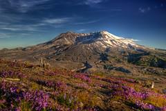 Mount St Helens (NW Vagabond) Tags: volcano cascades mountsthelens hdr mtsthelens lupine mtsainthelens mountsthelensnationalmonument