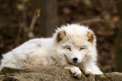 arctic fox (Cloudtail the Snow Leopard) Tags: fuchs polarfuchs fox arcticfox wildpark tierpark wildtierpark badmergentheim eisfuchs cloudtailthesnowleopard