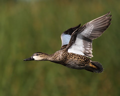 Blue-winged Teal (mattlev12) Tags: specanimal birdperfect