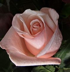 A Rose is a Rose _5289 (photoholic1) Tags: pink flower macro rose bouquet pinkrose closleup