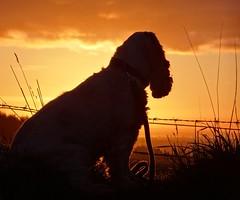 Sunrise spaniel (cocopie) Tags: sunrise spaniel