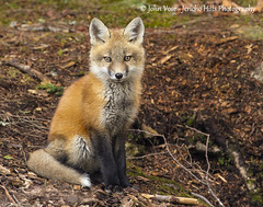 Red Fox Kit - Posing (Jericho Hills Photography) Tags: red wild cute nature beautiful animal animals rural fur mammal furry wildlife newengland newhampshire canine whiskers fox wildanimal predator mammals sneaky scavenger carnivore naturephotography redfox vulpesvulpes predatory wildlifephotography vulpes johnvose jerichohillsphotography