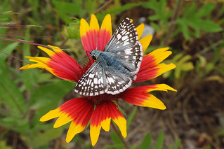 Belmont - White Checkered Skipper