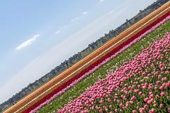 Diagonale florale (Isabelle Gallay) Tags: city flowers urban colors fleurs landscape landscapes colorful tulips couleurs paysage ville urbain tulipes aquitaine gironde