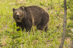 Which one of you called me a Porcupine (ChicagoBob46) Tags: bear yellowstonenationalpark yellowstone grizzly grizz grizzlybear