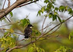 Kingbird (NYC Wild) Tags: nyc urban ny brooklyn wildlife may baltimore sparrow chipping oriole 2016 kingbird b16 nycwild