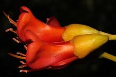 Castanospermum australe (andreas lambrianides) Tags: bean blackbean fabaceae moretonbay australianflora castanospermumaustrale moretonbaychestnut australiannativeplants arfp australianrainforests australianrainforestplants qrfp australianrainforestflowers arfflowers redarfflowers moretonbaybean