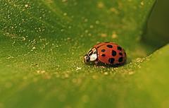 Marienkfer (geweg) Tags: tiere natur insekten kfer marienkfer