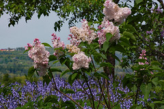 A window to summer (d.cobb56) Tags: pink flowers blue summer nature bluebells landscape outdoor newengland lilac pinkblossoms