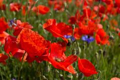 IMG_7246 (n_kot) Tags: field landscape pole wildflowers kwiaty kwiat kwiatypolne