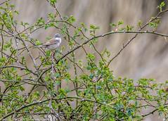 9Q6A0986 (2) (Alinbidford) Tags: swan muteswan greylaggoose whitethroat brandonmarsh alancurtis alinbidford