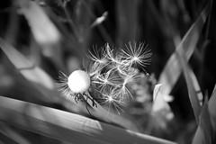 IMG_7919 (kween_beek) Tags: nature wisconsin outdoors weed dandelion wish wildflower wi