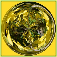 Laburnum Orb (rustyruth1959) Tags: tree green art yellow circle square nikon bright orb frame round photoframe laburnum artstudio ipad hdphotowizard