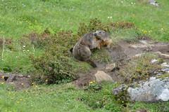 DSC_4756 (d90-fan) Tags: animals outdoors austria tiere sterreich natur pferde schnecke rauris fohlen hohetauern tauern krumltal murmeltiere raurisertal
