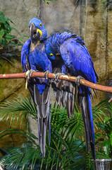 Hyacinth Macaw (ajblake05) Tags: canada birds animals vancouver britishcolumbia northamerica stanleypark vancouveraquarium captive hyacinthmacaw vertebrates lowermainland anodorhynchushyacinthinus greatervancouver psittacidae vertebrata