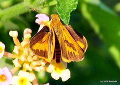 DSC_0841 (rachidH) Tags: flowers nepal lake nature blossoms butterflies insects blooms lantana pokhara fewa phewa papillons commondart potanthuspseudomaesa rachidh indiandartbutterfly
